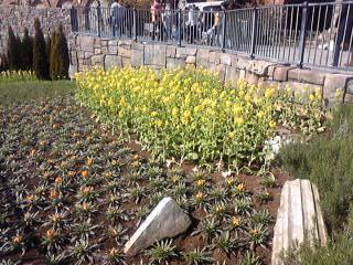 ザンビニ横の花畑