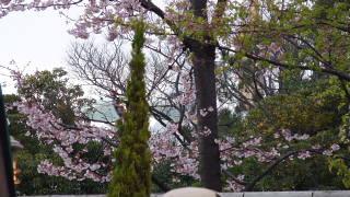 ゴーコースターとグランドサーキット・レイルウェイの間の桜