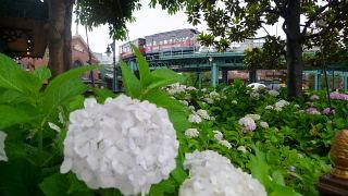 ウォーターフロントパークの紫陽花