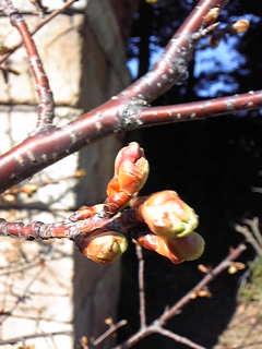 今年の河津桜も早いのか?