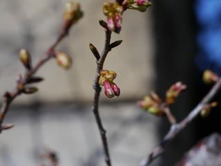 河津桜の蕾