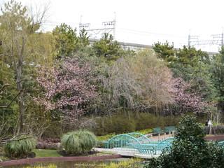 リリーポンドガーデンの桜