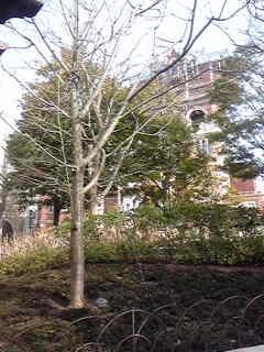 ウォーターフロントパークの大島桜