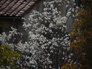 東京ディズニーシーの大島桜