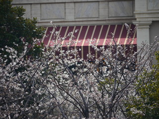ピクニックエリアの大島桜