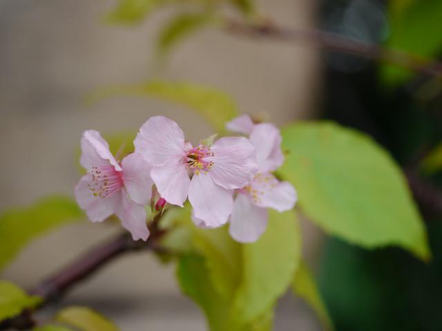 河津桜 狂い咲き