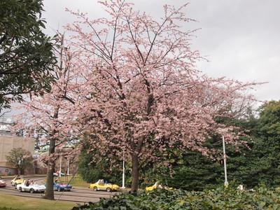 グランドサーキット・レースウェイの桜
