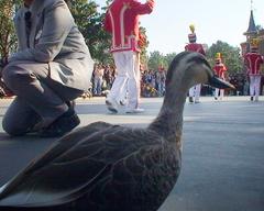度胸のある鴨