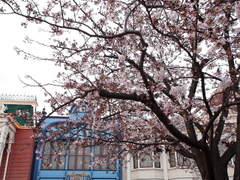 インフォメーションボード前の桜