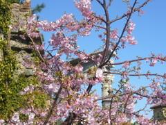 桜とローマ遺跡